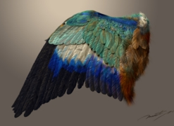 Wing of a blue_roller_20171007_2.jpg